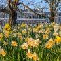 Narcissen in Het Plantsoen. #lente #zon #buienradar