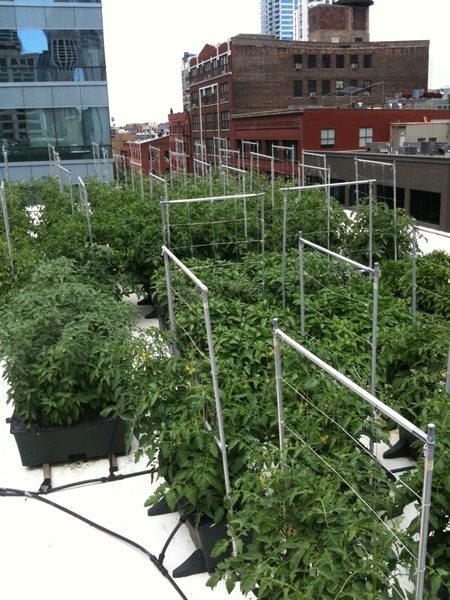 Our rooftop garden is really thriving--all 85 boxes!