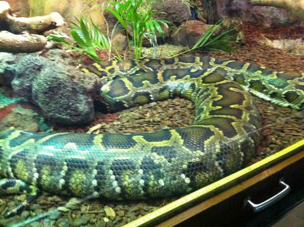 Now that's a snake! Burmese python at Artis