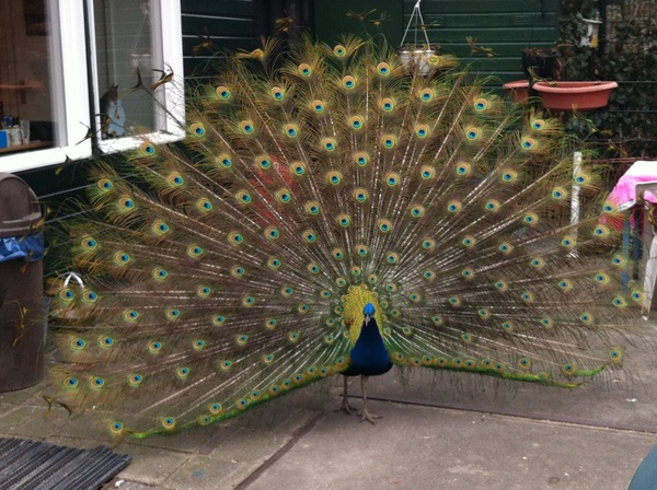 Peacock at the petting zoo