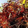 Schwarze Beeren an blutroten Zweigen - #hach die Natur mag mich.