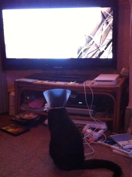Got the Cone of Shame back on Ben the Cat. He's now watching telly.