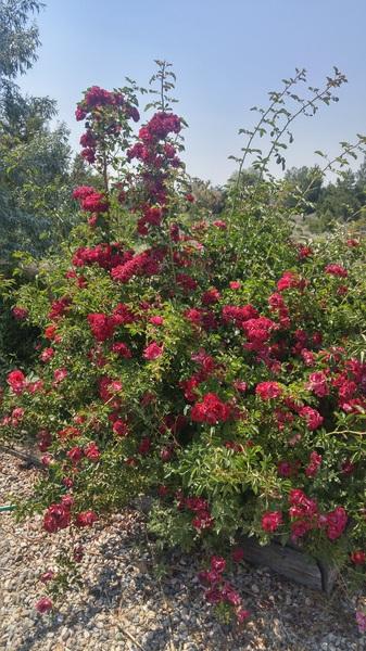 Rose season #taos #nm #idontknowmaybeitwastheroses