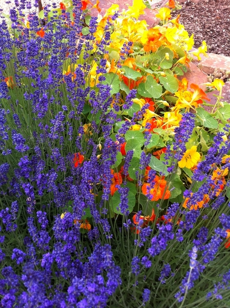 Culinary gardens at Sunset are stunning. Lavender and nasturtiums are in full bloom, used for beverages!