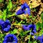 Gentiaan in volle bloei. #buienradar