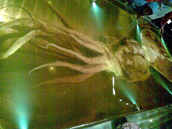 Real live dead giant squid at te papa
