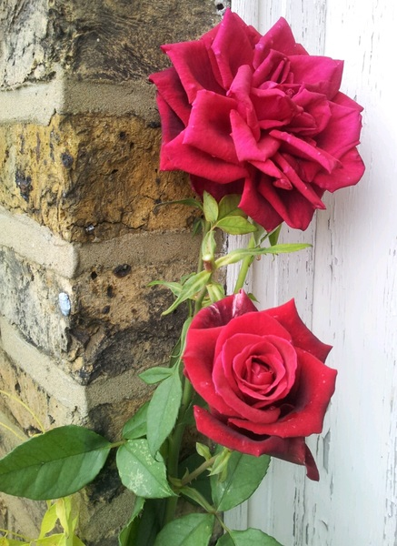 #WeartheRose gardeners of England be growing the roses! Ain't that right @The_RHS we go hard or go home in support! ;o)