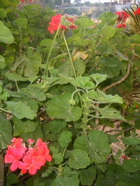 Foglie e fiori rossi dei gerani zonali (Pelargonium zonale)