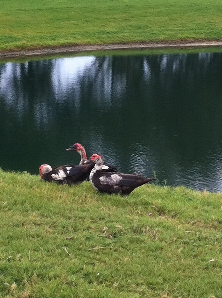 "Good morning, tweeps! Can anyone identify these waterfowl? A passerby called them ""ugly ducklings"" and ""jerks""."