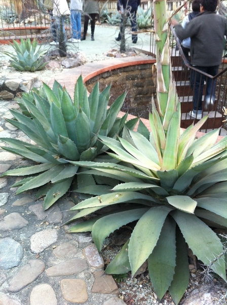 Oax Ethnobotanic Garden: Tobala maguey for making the best Mezcal