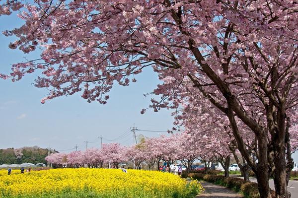 【桜紀行2014】下野市・天平の丘公園近くの思川桜 南部のソメイヨシノは終わってしまいましたが変わって思川桜が満開となっています!