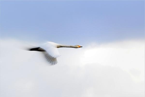 kleine zwaan in de vlucht. #buienradar