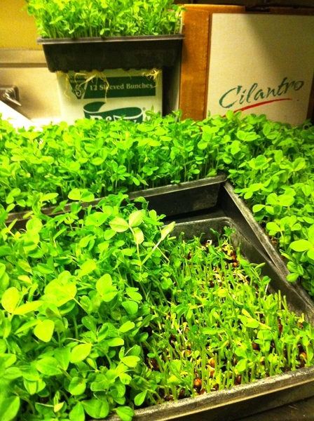 Cutting some of the newly arrived peashoots from Three Sisters Garden for lunch service.