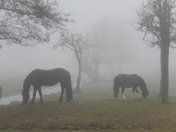 paarden in de mist in benschop #buienradar