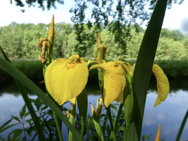 gele lis langs de waterkant #buienradar