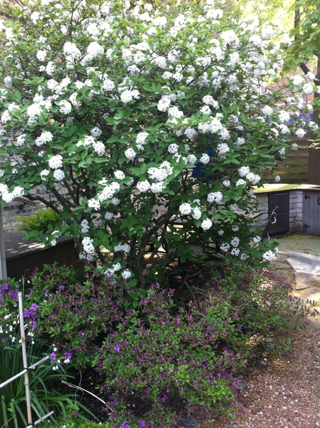 this viburnum has filled my yard with the most intoxicating perfume