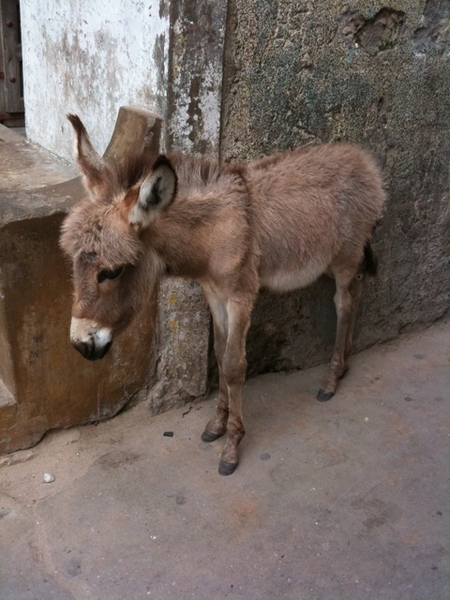 3 day old donkey on Lamu Island. No cars, it's donkey for hauling, diesel for lighting and 5 calls to prayer a day, starting at 4:30 am.