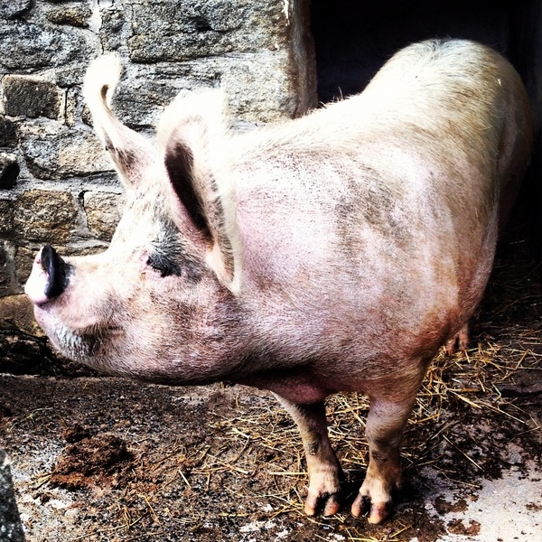 Today's horse photo is a pig. A very pretty pig.