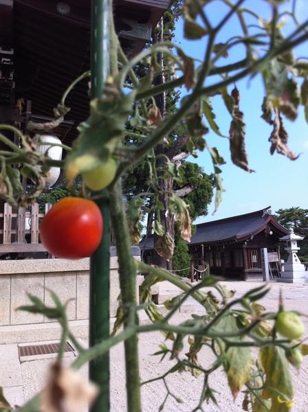 おはようございます。御神木の平安杉の脇になぜか自生していたトマトが赤い実をつけました。 #okayama