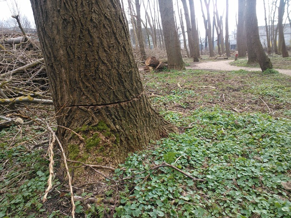 """Flink # bomen """"Berghstichting""""  ingezaagd. Wachten op storm? Gevaarlijk? @noordwijkZH"""