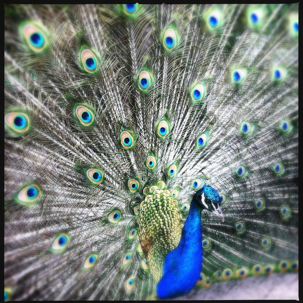 Neighborhood Peacock