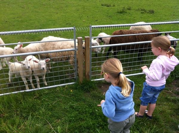 Lammetjes kijken