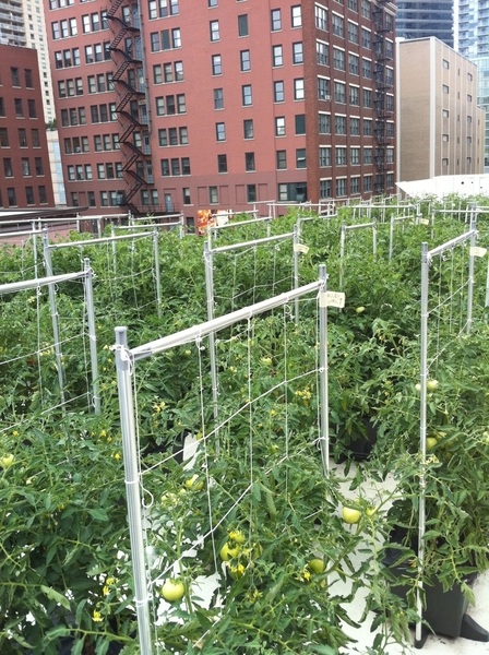 Getting ready for our first tomato&chile harvest from the rooftop garden!