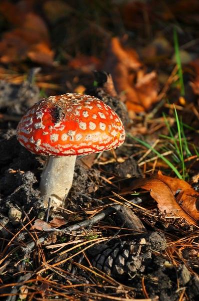 Vliegenzwam aan het genieten van het herfstzonnetje #herfst#paddenstoelen #buienradar